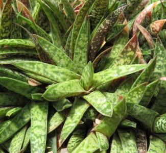 Gasteria bicolor liliputana