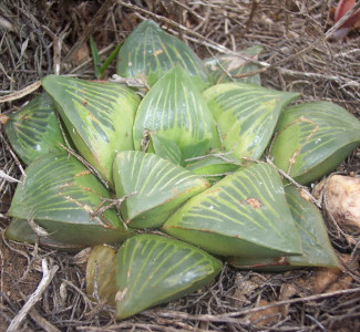 Haworthia retusa Riversdale