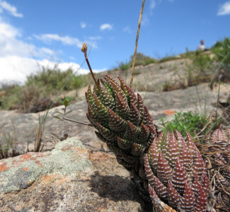 Haworthiopsis coarctata E Grahamstown