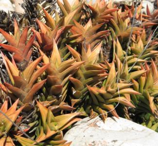 Haworthiopsis pungens Braamrivier