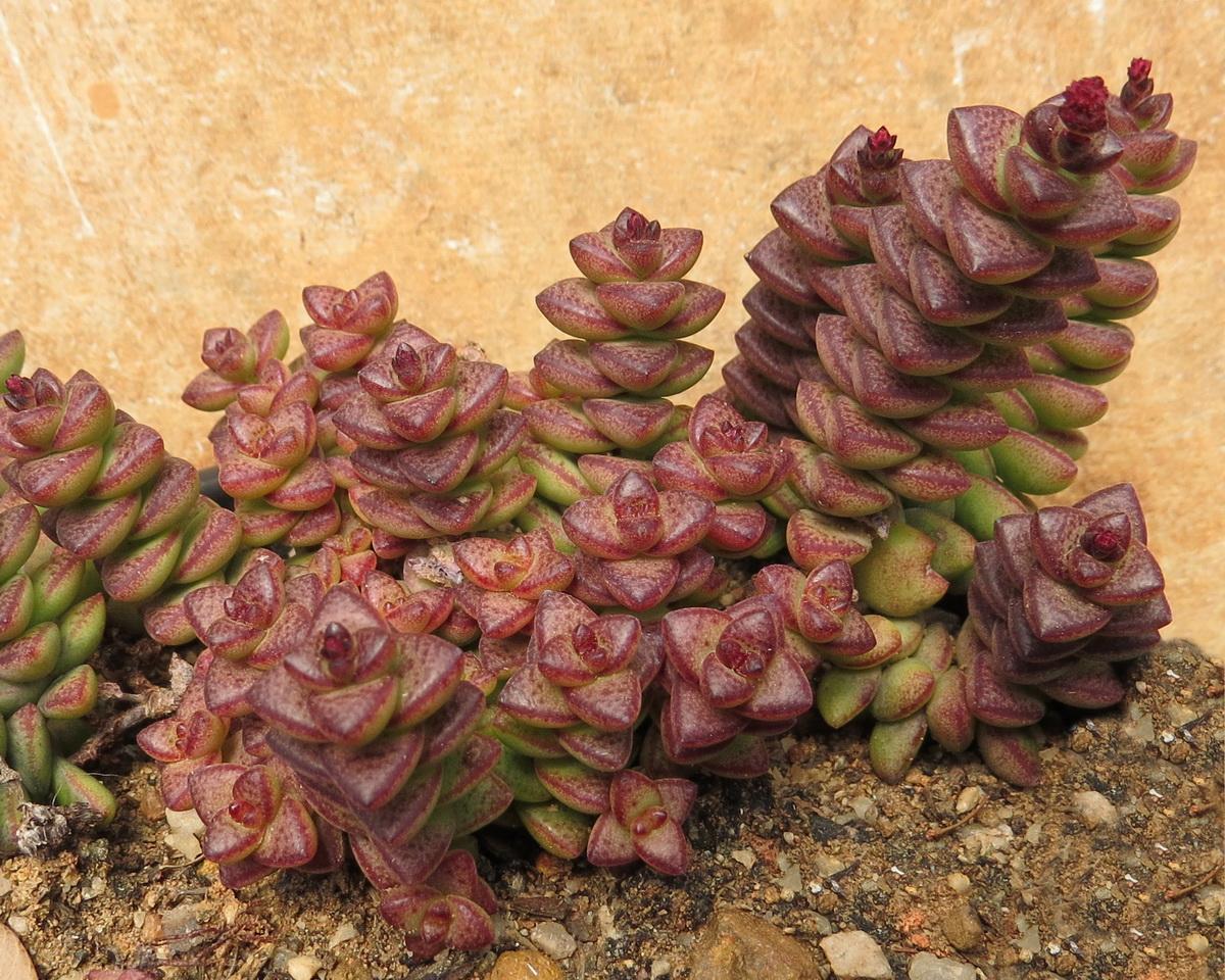 Crassula Perforata Kougaensis B Resized