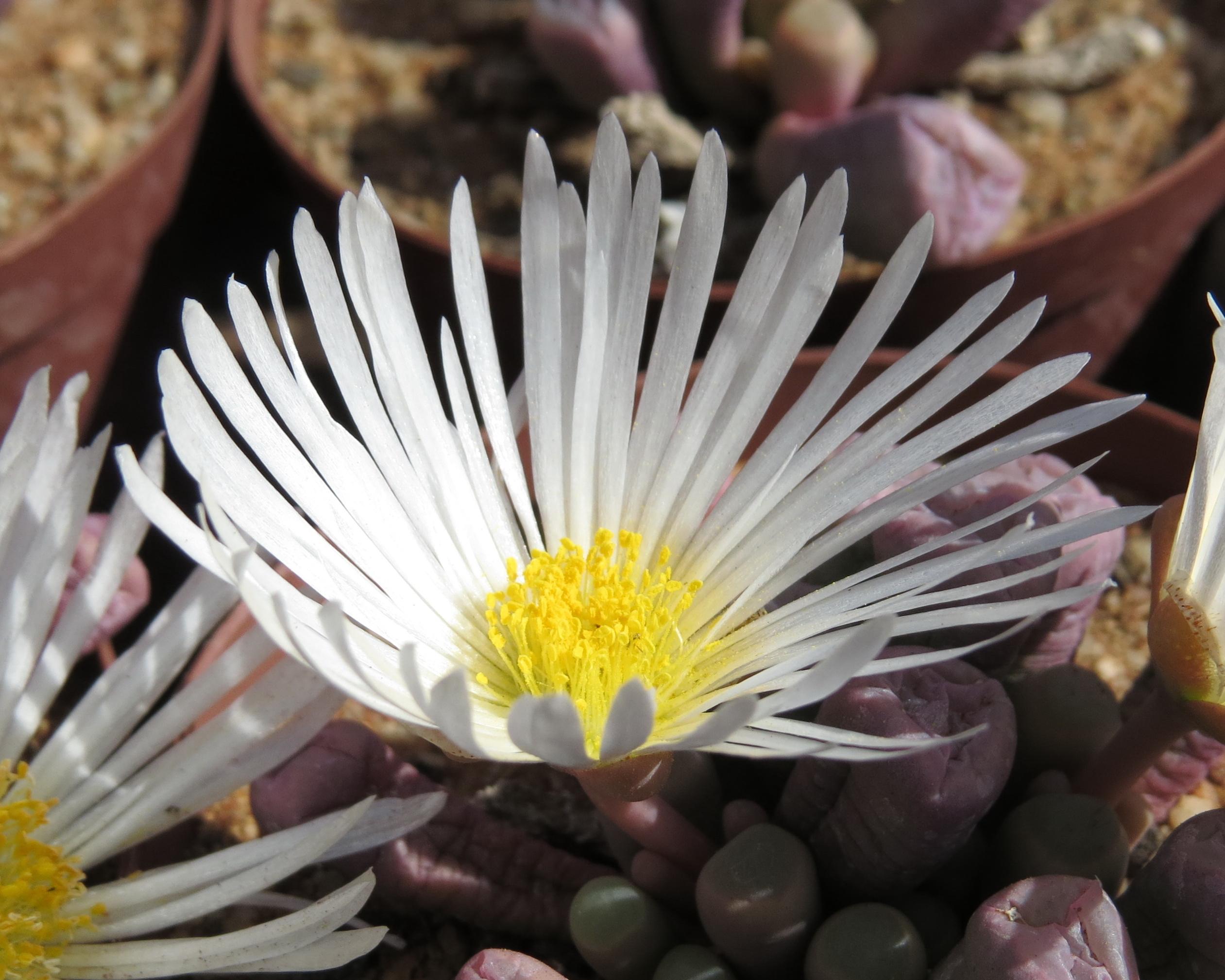 Fenestraria Rophalophylla White 1b