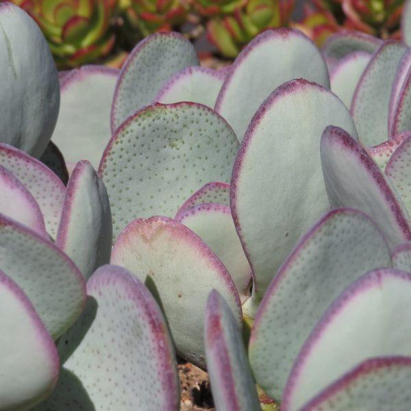Crassula Arborescen Arborescens B