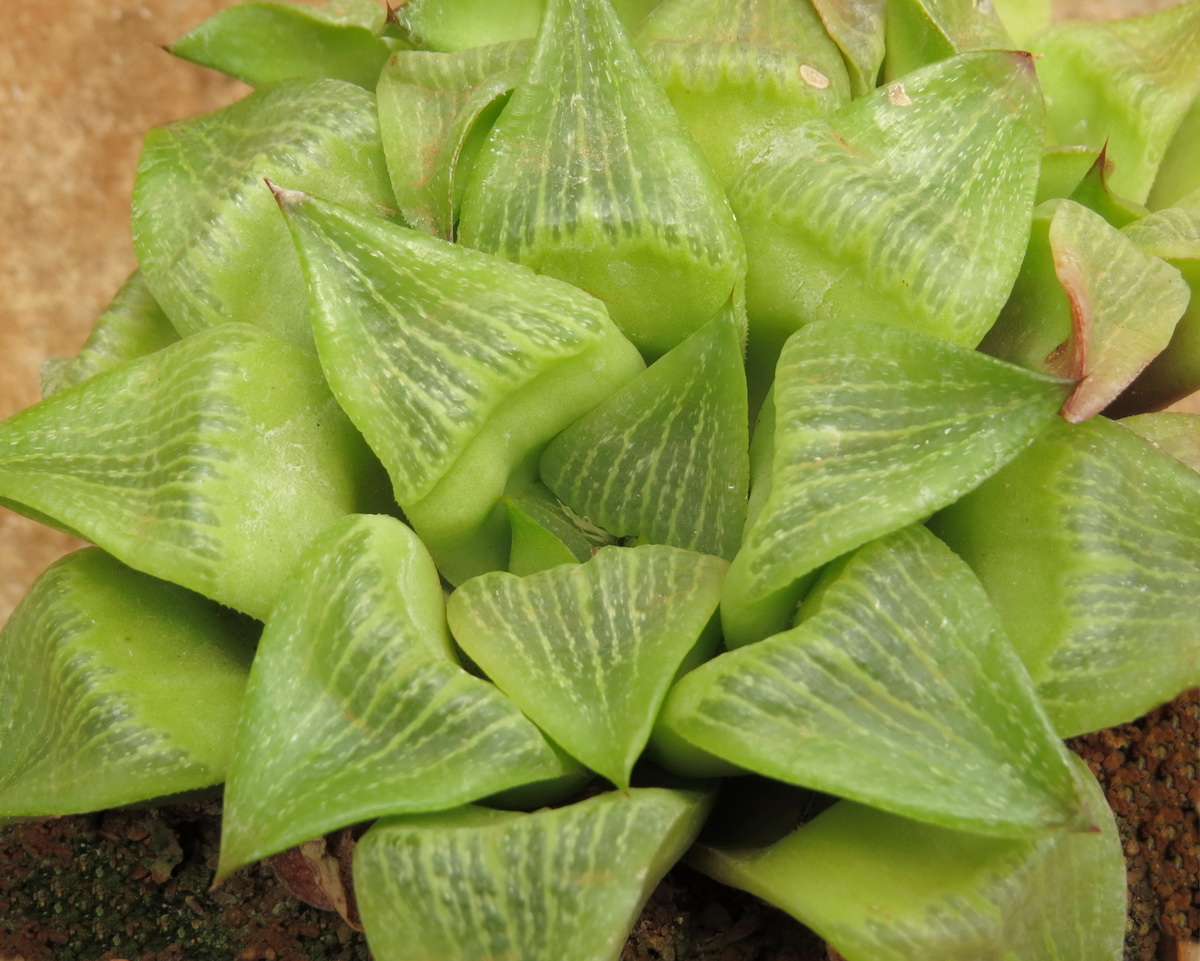 Haworthia Retusa Geraldii Cl4 B
