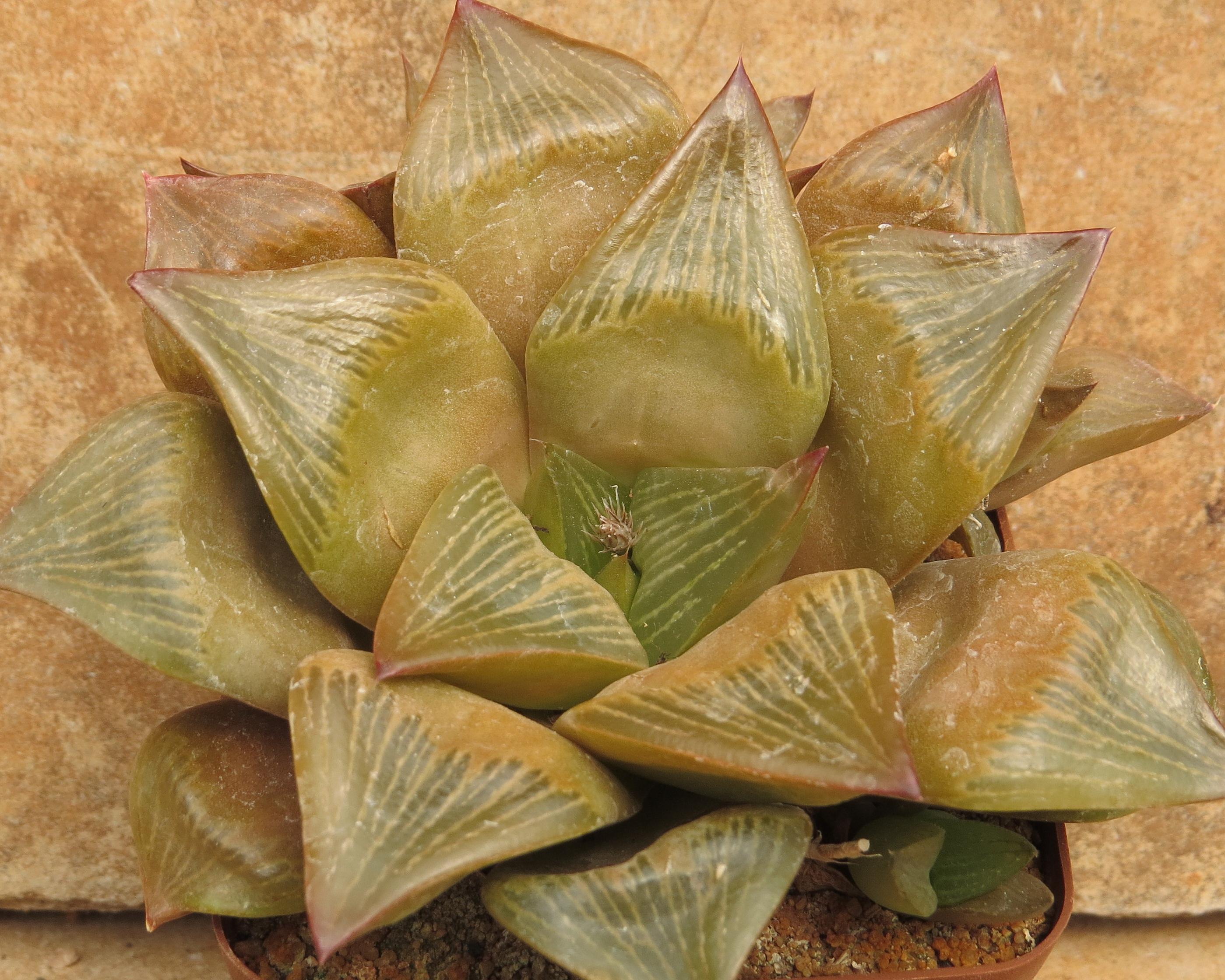 Haworthia Retusa Multilineata B