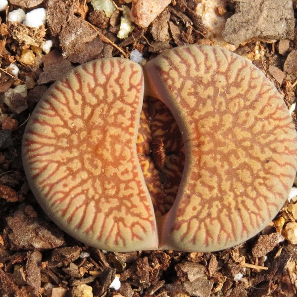 Lithops Aucampiae Euniceae B Resized
