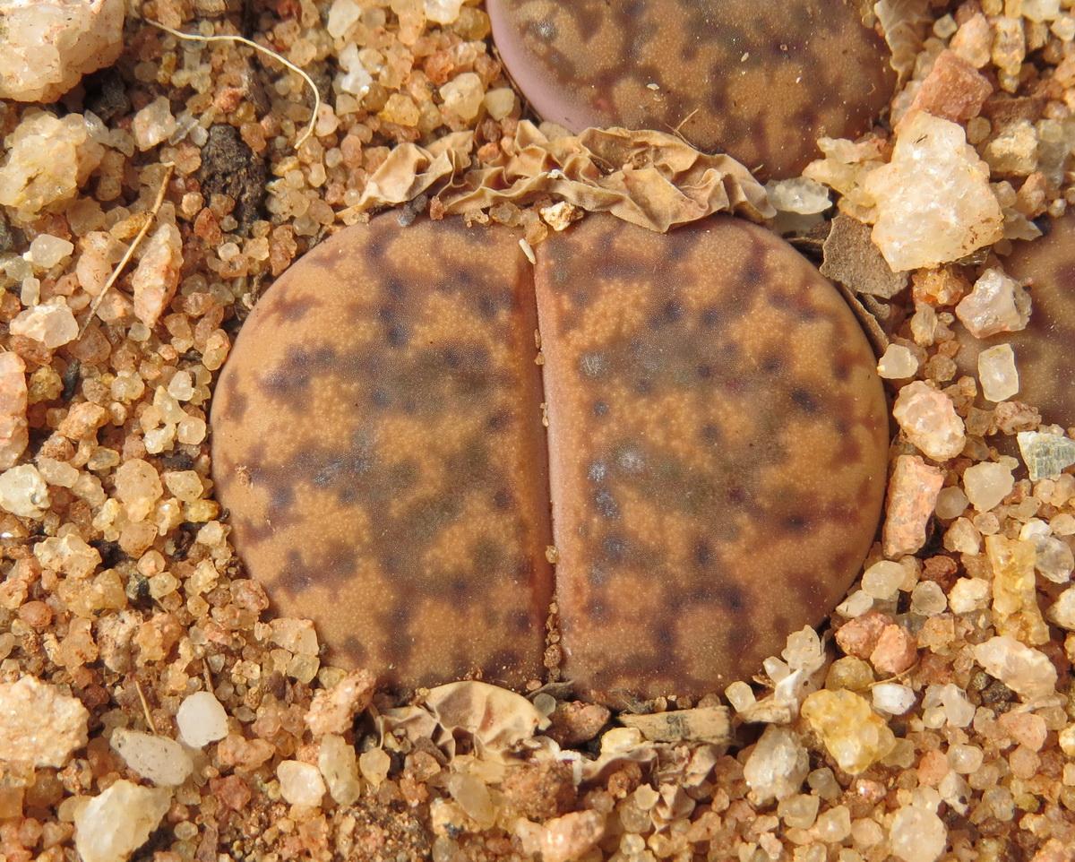 Lithops Bromfieldii Glaudiniae C382 Img 8185b