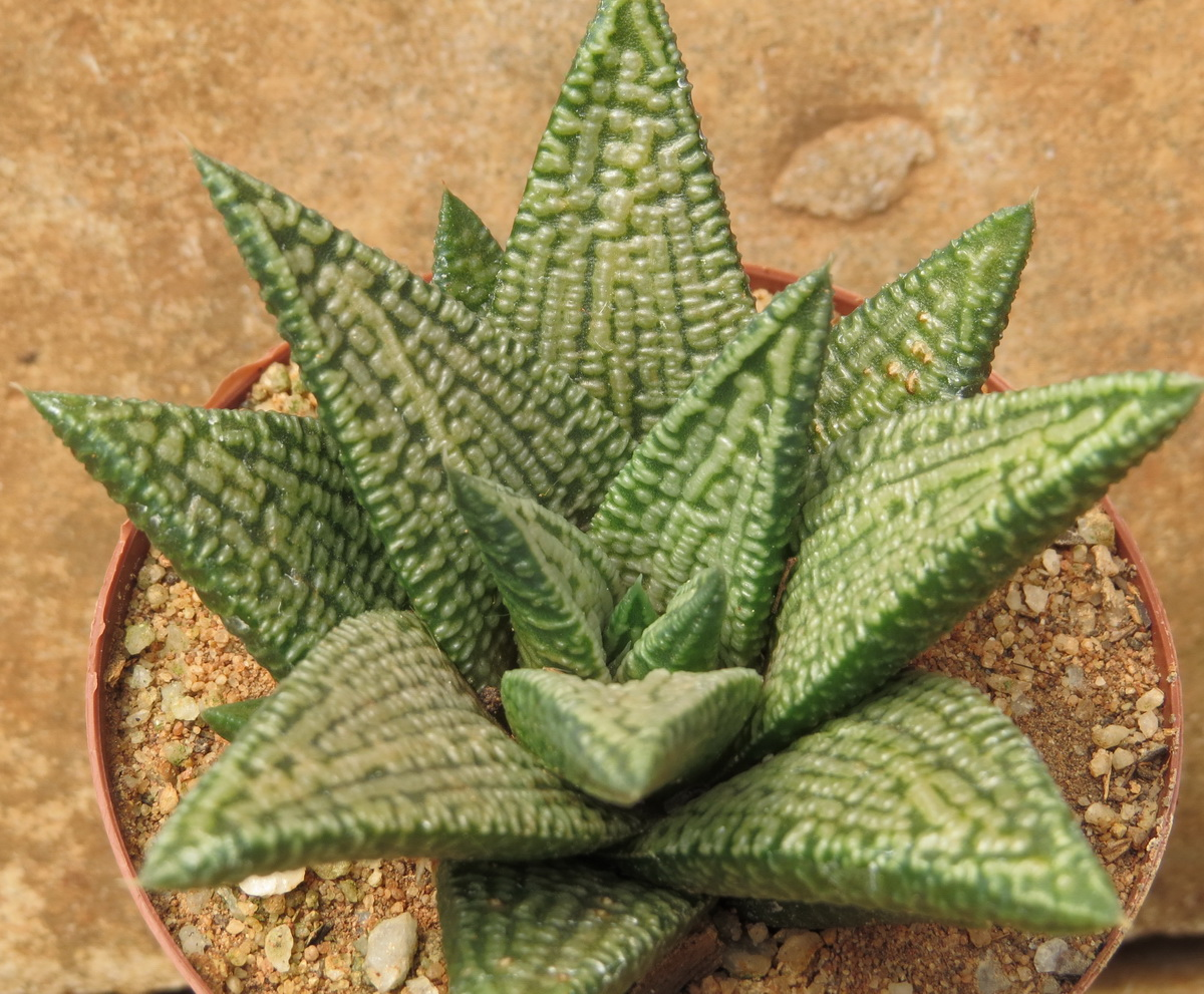 Haworthiopsis Marble Queen