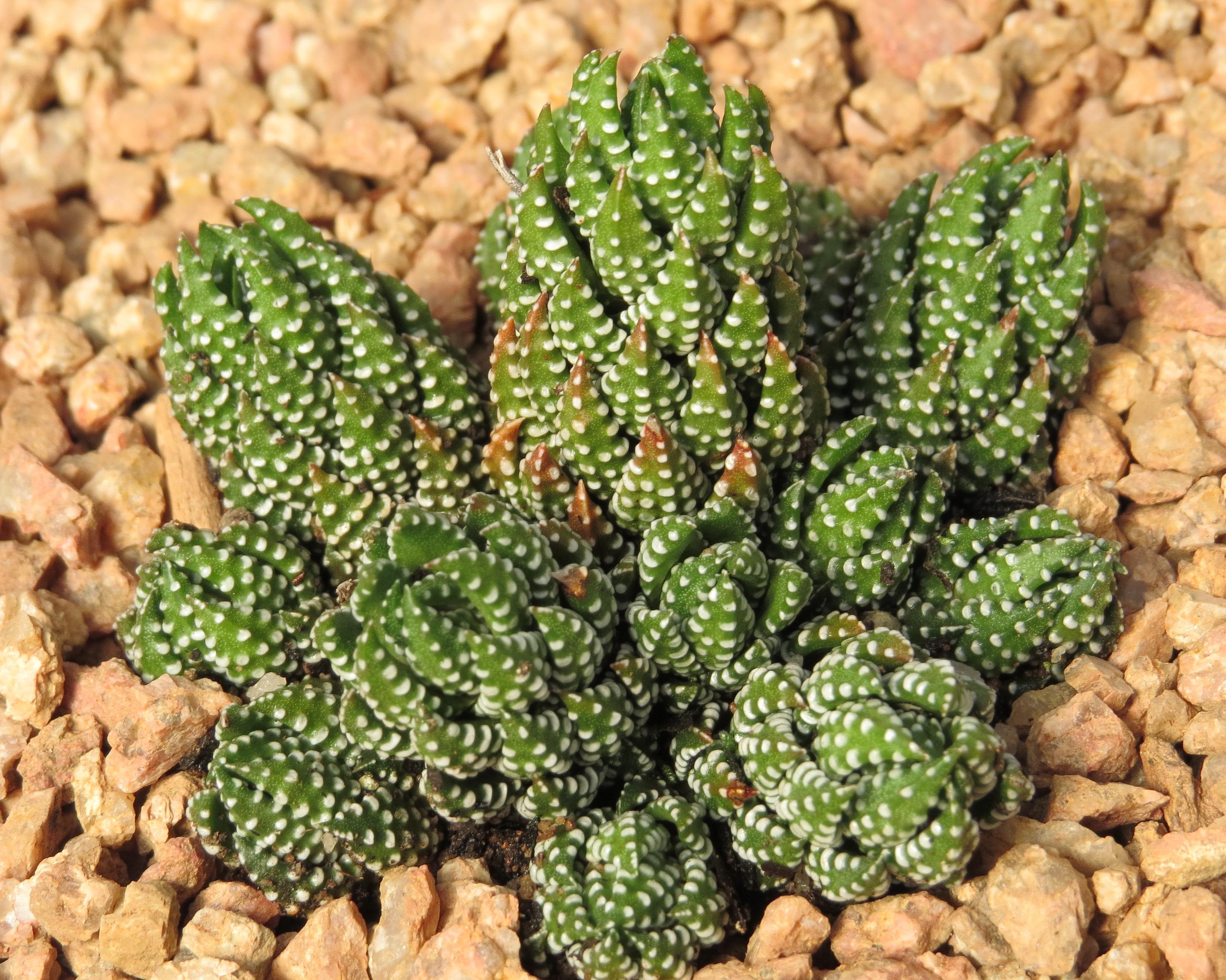Haworthiopsis Reinwardtii Bellula