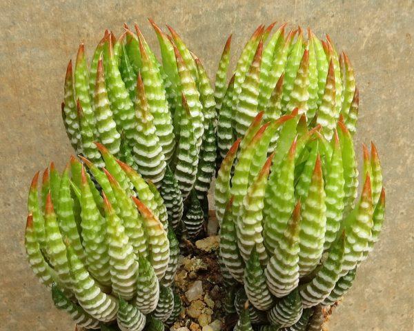Haworthiopsis Reinwardtii Olivacea Zebrina Dmc