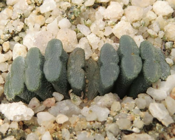 Haworthia Truncata Neopapillaris